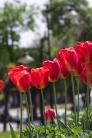 istanbul_tulip_lale_festival_ozgurozkok (85)