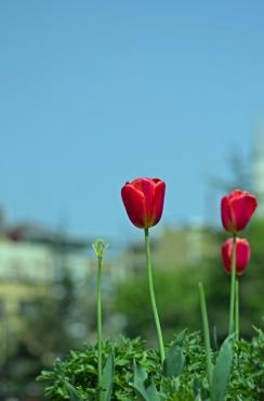 istanbul_tulip_lale_festival_ozgurozkok (86)