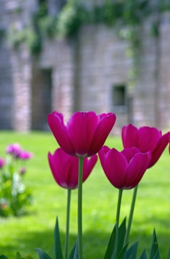 istanbul_tulip_lale_festival_ozgurozkok (96)